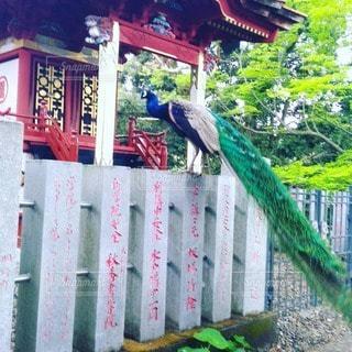 自然,動物,鳥,神社,茨城,孔雀,クジャク,雨引観音,フォトジェニック