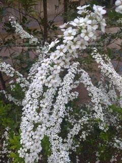 花,春,白,樹木,雪柳,草木,ユキヤナギ,ブロッサム,フローラ