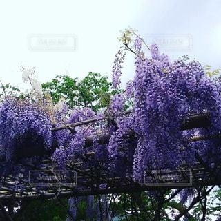 花,紫,藤,フジ,樹木,バイオレット
