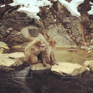猿,温泉,動物,岩,長野,地獄谷温泉,サル