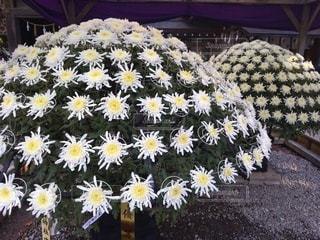 花,白,広場,草木,菊,菊まつり