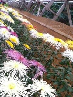 花,鮮やか,たくさん,カラー,菊,ガーデン,菊まつり