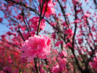 花,春,ピンク,樹木,桃,桃の花,草木
