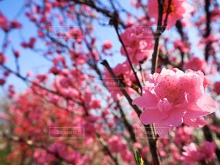 花,春,屋外,ピンク,鮮やか,樹木,桃,桃の花,草木