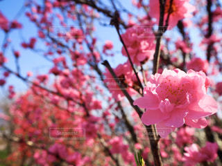 花桃の写真・画像素材[3077437]