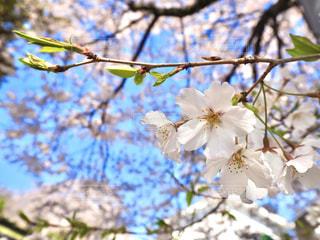 空,花,春,屋外,枝,青い空,樹木,草木,桜の花,さくら,ブルーム,ブロッサム