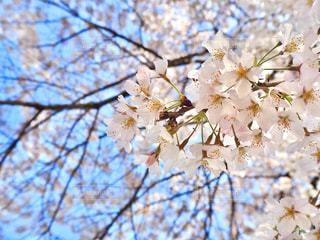 空,花,春,枝,樹木,草木,桜の花,さくら