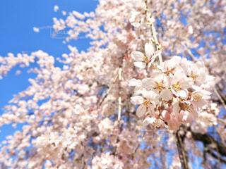 空,花,春,草木,桜の花,さくら,ブロッサム