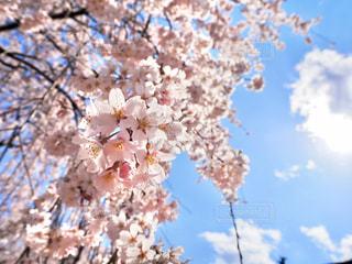 空,花,春,屋外,青い空,樹木,草木,桜の花,さくら