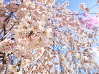 花,春,樹木,草木,桜の花,さくら,ブロッサム