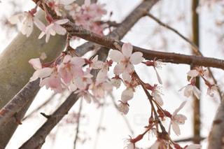花,春,桜,屋外,ピンク,枝,草木,3月,桜の花,さくら,cherryblossom,ブロッサム