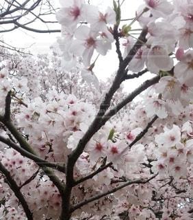 花,桜の花,さくら,ブロッサム