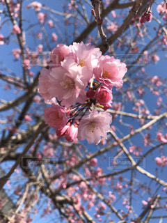 花,春,屋外,ピンク,赤,青い空,鮮やか,樹木,ほんわか,草木,桜の花,さくら,ブロッサム