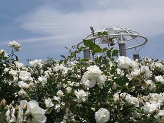 空,花,屋外,白,バラ,草木,ブロッサム