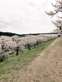 自然,風景,空,花,春,桜,屋外,緑,草,樹木,歩道,地面,草木