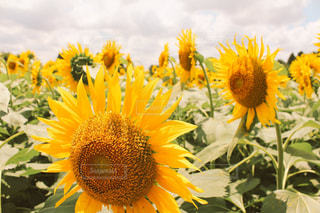 花,夏,ひまわり,黄色,夏休み,草木,お出かけ,花粉