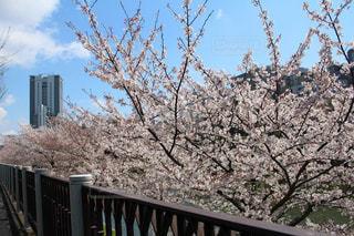 空,花,春,屋外,散歩,桜並木,樹木,桜の花,日中,さくら,ブロッサム