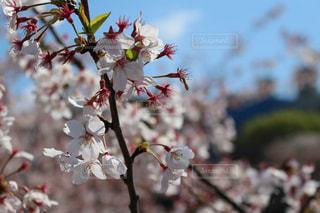 空,花,春,木,東京,散歩,景色,樹木,草木,桜の花,さくら,ブロッサム