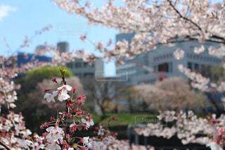 風景,空,花,春,屋外,東京,散歩,樹木,桜の花,さくら,ブロッサム