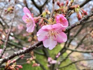 花,春,木,屋外,ピンク,樹木,旅行,草木,旅先,ブロッサム