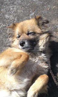 犬,動物,かわいい,茶色,我がペット