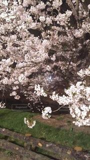 桜,屋外,満開