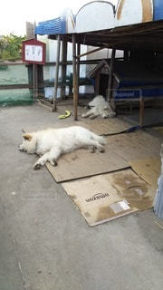 犬,動物,白,景色,地面