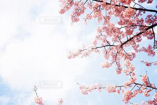 自然,空,花,春,桜,屋外,お花見,フィルム,河津桜,草木