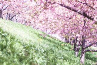 自然,風景,花,春,カメラ,桜,屋外,花見,景色,草,樹木,お花見,新緑,キラキラ,一眼レフ,河津桜,草木,横写真,ブロッサム