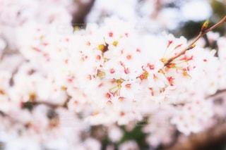 花,春,桜,木,ピンク,花見,満開,スプリング,4月,ブロッサム,ぼやける