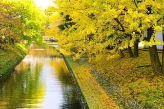 自然,風景,秋,湖,川,水面,景色,樹木,草木,イチョウ並木