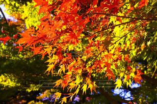 秋,紅葉,葉,もみじ,樹木,草木,11月