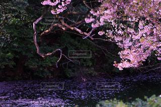 公園,花,桜,屋外,紫,水面,池,景色,草木