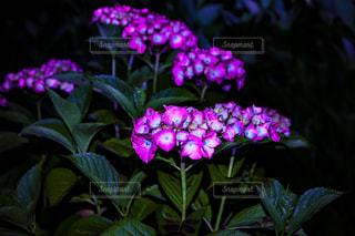 風景,花,夜,ピンク,黒,景色,紫陽花,闇,草木,アジサイ,フローラ