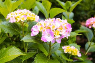 風景,花,ピンク,緑,カラフル,黄色,紫陽花,明るい,梅雨,アジサイ