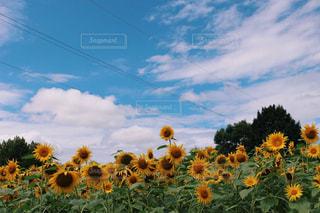 空,花,夏,ひまわり,雲,青空,草木,クラウド