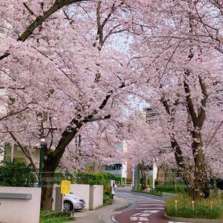 花,春,桜,花見,桜の花,さくら