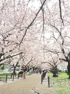 風景,公園,花,春,桜,屋外,サクラ,桜の花,日中,さくら,ブロッサム