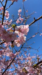 空,花,春,屋外,枝,青い空,樹木,桜の花,さくら