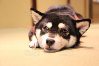 犬,動物,屋内,白,かわいい,黒,柴犬,しばいぬ