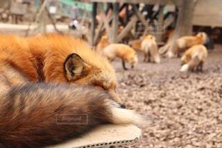 動物,屋外,寝る,地面,きつね,フォックス