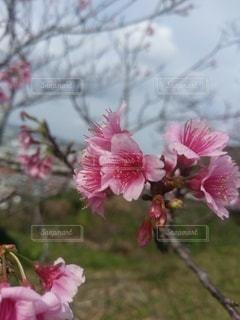 花,ピンク,鮮やか