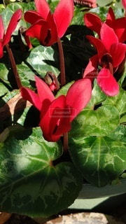 花,赤,シクラメン