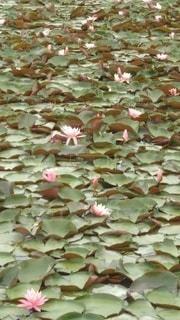 花,ピンク,蓮