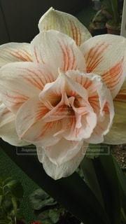 花,アマリリス,ブルーム