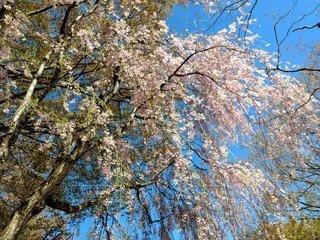 枝垂れ桜の写真・画像素材[3042318]