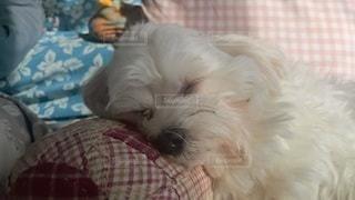 犬,動物,屋内,白,かわいい,マルチーズ,寝姿