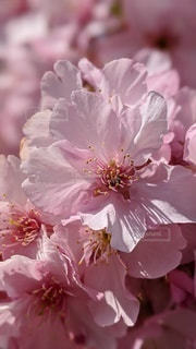 花,桜,ピンク,花見,景色,花びら,草木,さくら,ブルーム,フローラ
