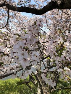 屋外,桜の花,さくら