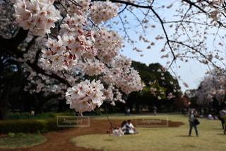 女性,男性,恋人,2人,3人,花,春,カップル,屋外,樹木,お花見,桜の花,さくら,ブルーム,ブロッサム,桜を撮る人